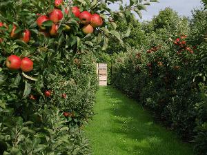 aranykalászos gazdáknak - almafák