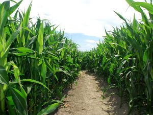 gazdaképzés - kukoricatermesztés