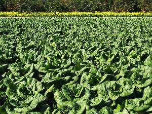 salátanevelés - aranykalászos gazda oktatás
