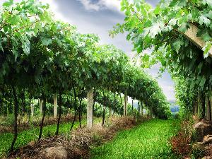 aranykalászos gazda tanfolyam - szőlőskert